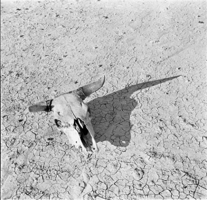 Arthur Rothstein's Dust Bowl-era photograph of a cow skull, which he moved to enhance the contrast and shadows.